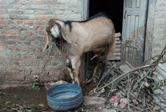 Goat urinating. On a floor Royalty Free Stock Photos