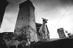 Goat in Ushguli Stock Photography