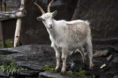 Goat in Ushguli Royalty Free Stock Photography