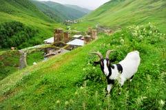 A goat in Ushguli village Stock Photo