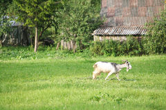 Goat. In village field, Lithuania Stock Photography