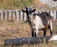 The goat in the village Stock Image