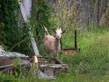 Goat in the village watching with interest stock image