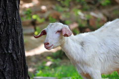 Goat. A goat is walking on the fields Royalty Free Stock Images