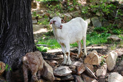 Goat. A goat is walking on the fields Stock Photo