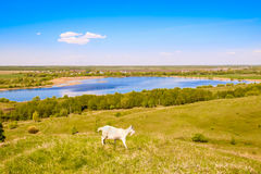 A goat walks along a high hill above the lake, eats green grass, a deep blue sky, a beautiful summer landscape Royalty Free Stock Images