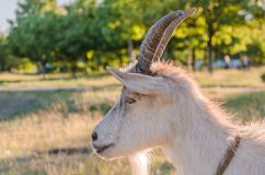 Goat walks in a meadow. Interested goat walks in a meadow in a children`s park Stock Photo