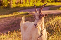 Goat walks in a meadow. Interested goat walks in a meadow in a children`s park Royalty Free Stock Images