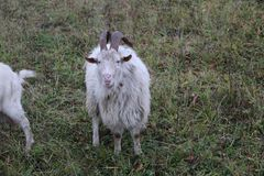 Goat walks pasture on an autumn day in cloudy rainy weather Stock Photography