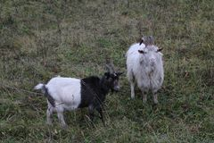 Goat walks pasture on an autumn day in cloudy rainy weather Royalty Free Stock Photography