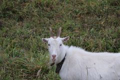 Goat walks pasture on an autumn day in cloudy rainy weather Stock Image