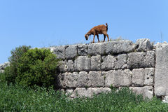 Goat on the wall Stock Photos