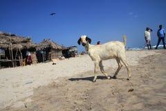 A goat wanders in Dhanushkodi, Tamil Nadu, India. Royalty Free Stock Image