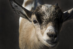 Goat watch in lens with curious look Stock Image