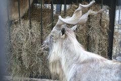 Markhor eats hay. Goat with wavy horns eating hay, head, beautiful Stock Photography
