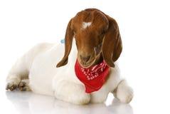 Goat wearing bandanna royalty free stock photography