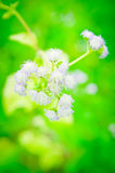 Goat weed flower bloom Royalty Free Stock Photo