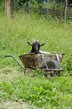 Goat in a wheel barrow. Animals theme royalty free stock images