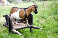 Goat and wheelbarrow Royalty Free Stock Photography