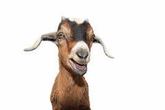 Goat on white stock image