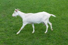 Goat white baby jumping side view green grass meadow Stock Photography