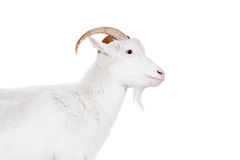 Goat on a white background Royalty Free Stock Images