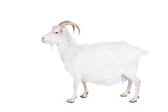 Goat on a white background. Goat standing up isolated on a white background stock photo