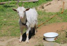 Goat Royalty Free Stock Photo