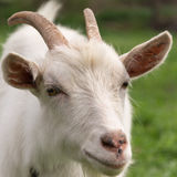 Goat white closeup Royalty Free Stock Images