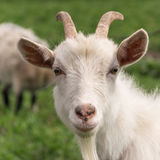 Goat white closeup. White goat looking in the camera Royalty Free Stock Photo