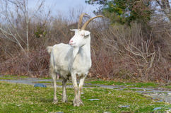 Goat white color standing on green grass Royalty Free Stock Photos