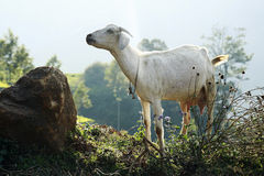 Goat. White colour goat looking somewhere else Stock Photo