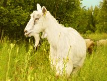 Goat White Farm Animal. Standing at grass green field Village royalty free stock photo