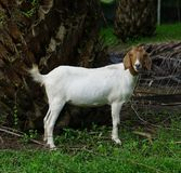 Goat white females. Aged 6 months in the palm groves royalty free stock photography
