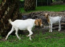 Goat white females. Aged 6 months in the palm groves stock image