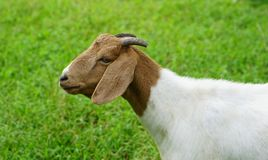 Goat white females. Aged 6 months in the palm groves royalty free stock photo