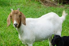 Goat white females. Aged 6 months in the palm groves royalty free stock image