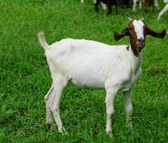Goat white females. Aged 12 months in the palm groves royalty free stock photography