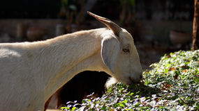Goat. The white goat is finding food for eat.lighting is soft and good composition.for close up and portrial Stock Image