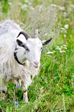 Goat white on grass Royalty Free Stock Image