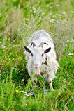 Goat white grazing on grass Royalty Free Stock Image