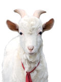 Goat white isolated Royalty Free Stock Photos