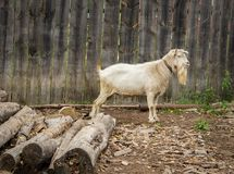 Goat. A white goat with a long beard stands near a wooden fence Royalty Free Stock Image