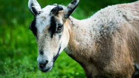 Goat. White goat in the paddock Stock Photography