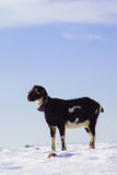Goat on white snow field in Sierra de Maria, Almeria,Spain Royalty Free Stock Photography