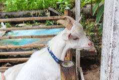 Goat. A white goat in the wooden fence Royalty Free Stock Photography
