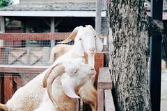 A Goat Who Focus On Camera. White goats in the cage and this one goat who focus on camera Royalty Free Stock Photos