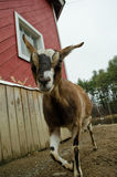 GOAT. A curious goat looking at you Stock Photo