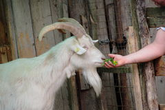 Goat who takes the hand grass Royalty Free Stock Image