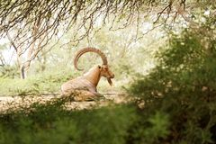 Goat in the wild day Royalty Free Stock Images
